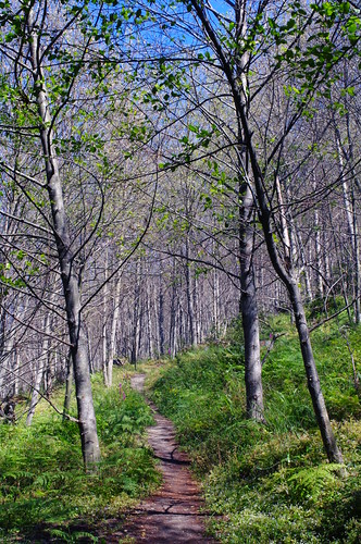 Birch trees on the trail