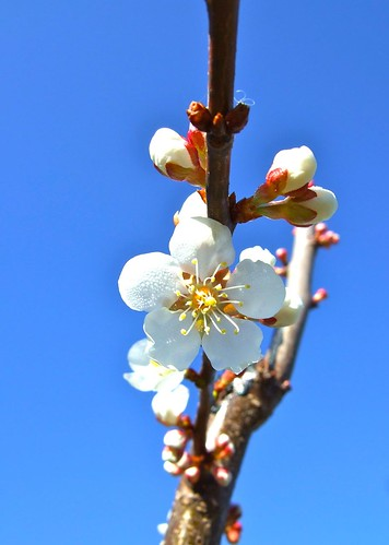Apricot blossom against blue sky