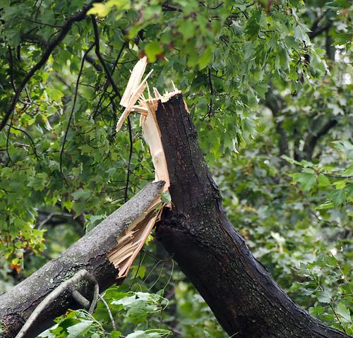 Split Tree Limb
