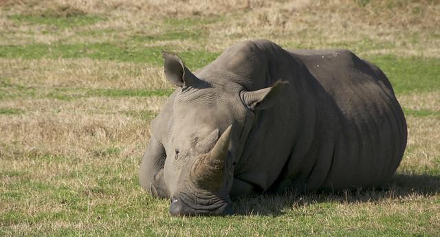 Werribee Rhino