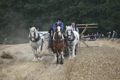 team of horses harvesting corn at the shrewsbury steam rally