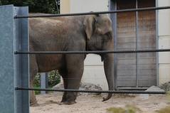 Asiatischer Elefant Daisy im Zoo de Maubeuge