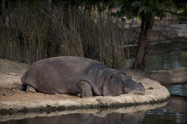 Werribee Hippo