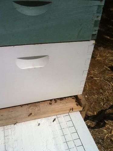 hive entrance mite board