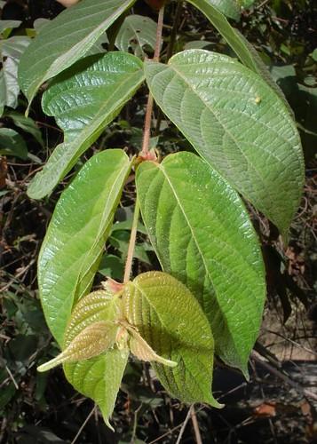 Uncaria lanosa var. appendiculata