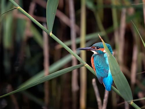 Kingfisher amongst reeds