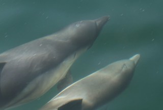 2011_07_29 SKM - Short-beaked Common Dolphin (Delphinus delphis) 1