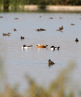 2011_09_13 LN - Ruddy Shelduck (Tadorna ferruginea) 04