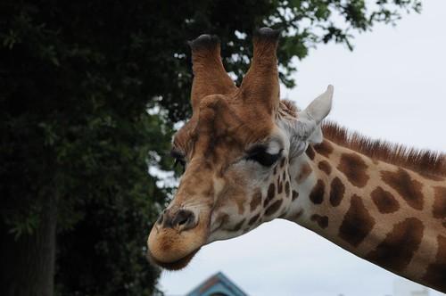 Uganda Giraffe Bakahari im Zoo de Maubeuge