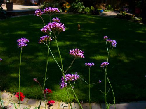 Verbena, beautiful against the lawn