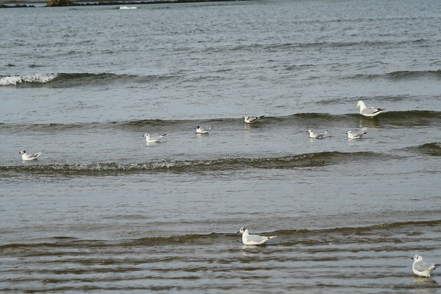 shore birds with gull