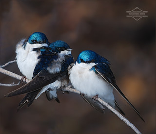 An Intrepid Trio of Tree Swallows