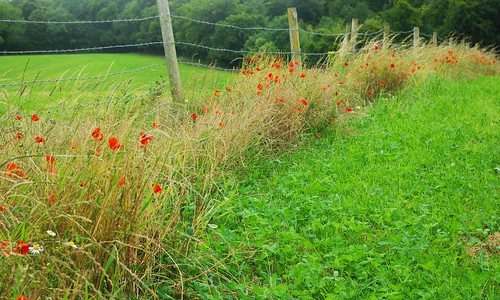 20110717-04_Field Side Poppies - Chilterns by gary.hadden