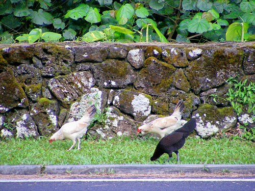Pali Lookout Chickens