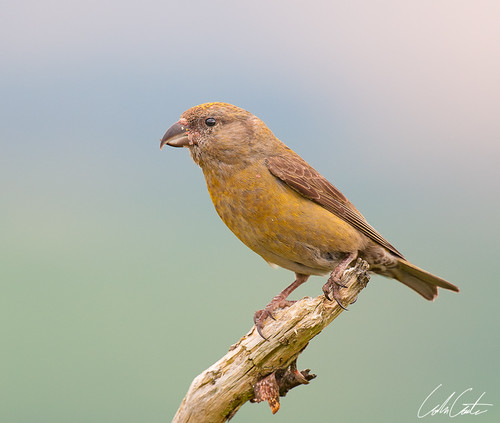 Female Common Crossbill by TheApertureMan