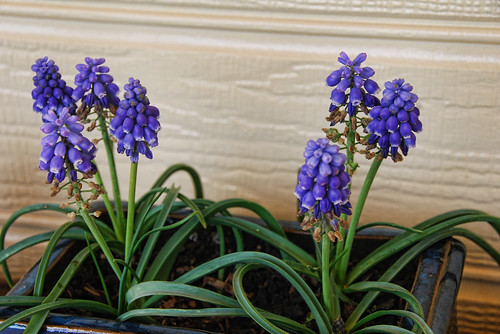 Grape Hyacinths - photo art by bhojman
