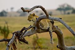 Leopardo - Leopard