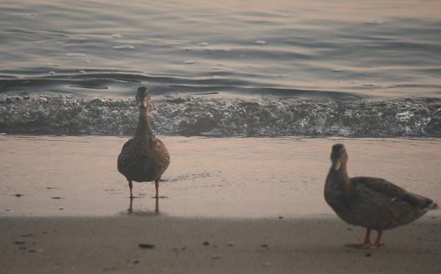ducks say hello