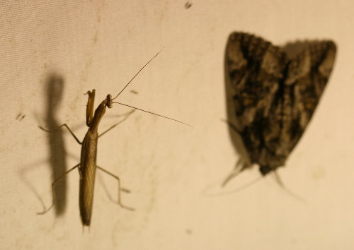 Praying Mantis and underwing