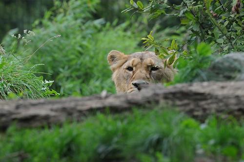 Asiatische Löwin Bayan im Zoo de Maubeuge