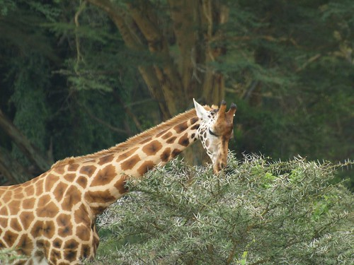 Giraffe picking out the leaves from the thorny tree