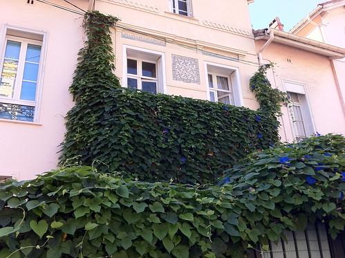 Perpignan plants 2 (ivy blobs)