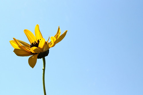 Sunflower touching the sky