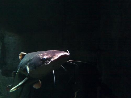 catfish nights
