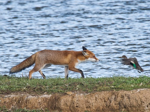 Red Fox and Teal