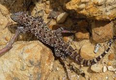 Mediterranean House Gecko (Hemidactylus turcic...