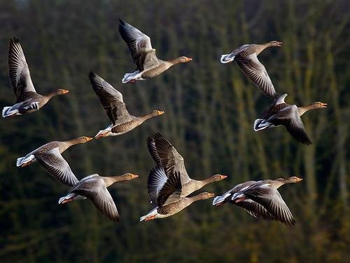 Greylag geese-flight