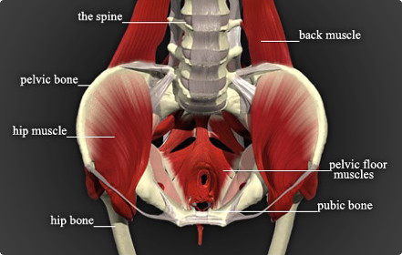 labled_pelvic_floor_and_trunk2a