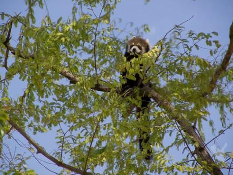 レッサーパンダの木登り@京都市動物園