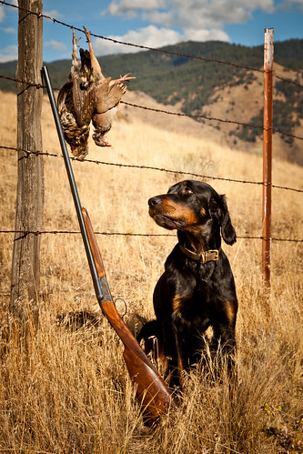 Gordon Setter with birds and shotgun