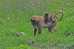 Dscheladas im Tierpark CERZA bei Lisieux in der Normandie