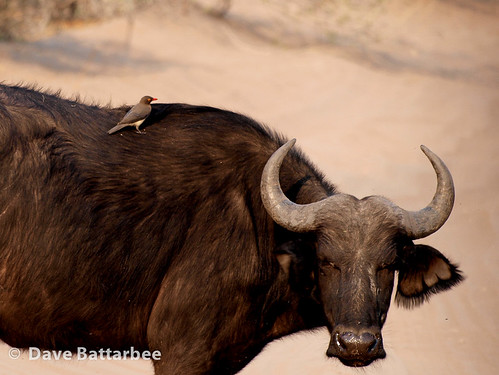 Buffalo with Redbilled Oxpecker
