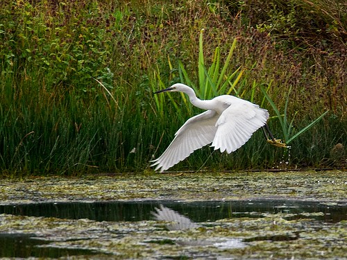 Little Egret in flight