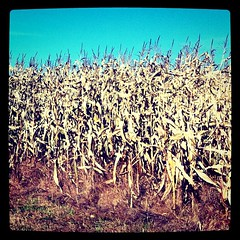 October Corn Field