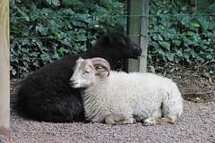 Ouessant-Schaf im Parc zoologique de Champrepus