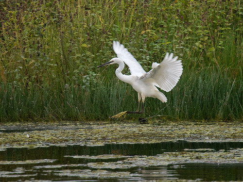 Little Egret landing