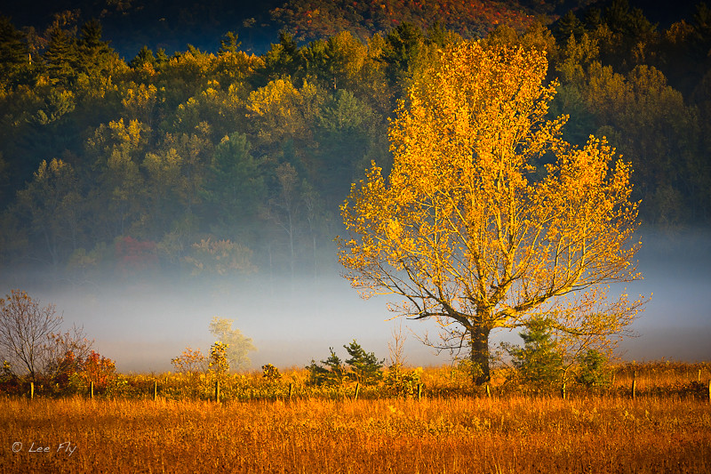 yellow tree and fog