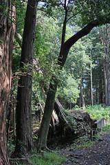 三保市民の森(台風15号の傷跡)(Struck by typhoon 15th, Miho Community Woods)