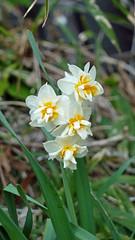 熊野神社市民の森のスイセン(Narcissus at Kumano Shrine Community Woods)