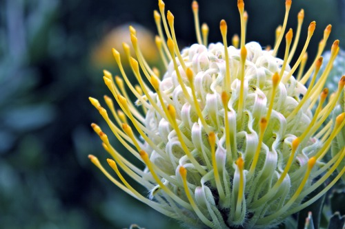 Orange tipped tentacles on Protea