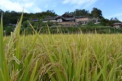 Rice up close