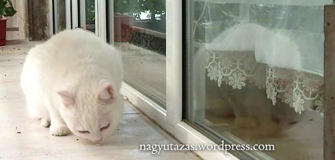 Csodaszép török angóra cica