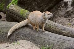 Fuchsmanguste im Tierpark CERZA bei Lisieux in der Normandie