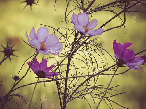 Cosmos blooming in the Fall by Child of the King / Beckie