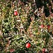 cranberries on the bush