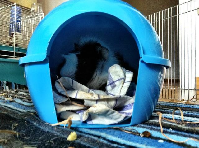 iglú de plástico para cobaya, color azul